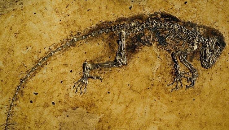 Sự thật về hóa thạch Ida: Tổ tiên loài người hay chỉ là một con vượn cáo? - ảnh 1