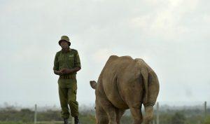 James Mwenda đứng cạnh tê giác Najin, hai cá thể cái Bắc Phi còn lại, ở Kenya. (Nguồn: Internet)