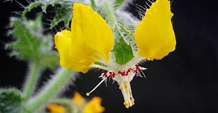 Thực vật Loasaceae ở Peru có khả năng ghi nhớ.