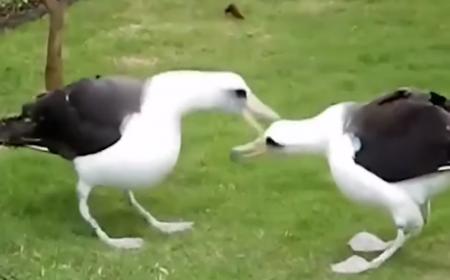 Màn chào hỏi đầy lễ nghi và phép tắc của hai chú chim....